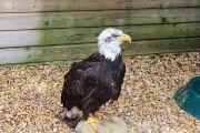 white-headed-fish-eagle