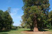giant-redwood