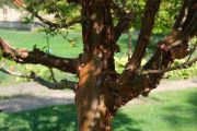 paper-bark-maple