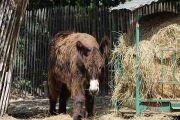 hairy-donkey