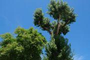 arbre-de-la-liberte